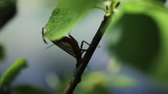 GOLDEN STONEFLY CLIMBING DOWN LEAFY BRANCH CLOSEUP Stock Footage