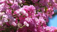 flower color pink flowered tree bees buzzing around nature beauty - stock footage