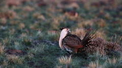 MALE SAGE GROUSE STRUTS AT DAWN WITH GOLDEN LIGHT - stock footage