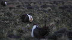 SAGE GROUSE LEK IN DESERT FIELD AT SUNRISE – PAN UP Stock Footage