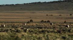 SAGE GROUSE MOVE ABOUT IN OPEN DESERT PLAIN Stock Footage