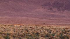 COYOTE RUNS ACROSS DESERT PLAIN AT SUNRISE Stock Footage
