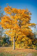 Stock Photo of Autumn maple tree