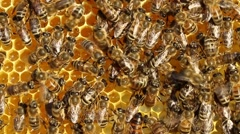 Queen bee moves cells with nectar Stock Footage