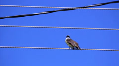 Bird building a nest. Light pole distribution transformer messy wires. - stock footage