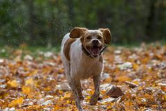 Happy Dog Running Towards Owner with Fall Leaves - stock photo
