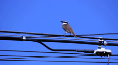 Stock Video Footage of Bird building a nest. Light pole distribution transformer messy wires.