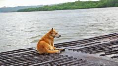 Brown Dog Travelling in River Boat Stock Footage