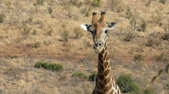 Giraffe close up in wild in African desert Stock Footage