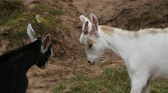 White And Black Goat Stock Footage