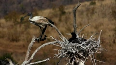 Nesting Cormorant and a Sacred Ibis perched on a Tree Stock Footage