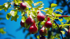 Pears growing in the pears orchard Stock Footage