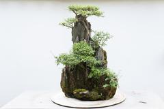 Bonsai with white wall - stock photo