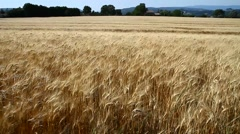 Wheat field moved by wind Stock Footage