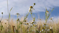 Wild daisies in cornfield, blue sky, white clouds, motorized shot, slow motion Stock Footage