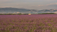 Lavender field near Verdon gorge, stone house in southern France 4K - stock footage