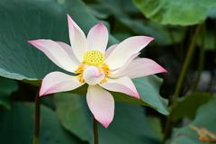 Blooming of a lotus flower - stock photo