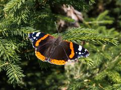 Butterfly red admiral, vanessa atalanta, sitting on a branch Stock Photos