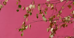 Branches of a Deciduous Tree Swaying in Chromakey Light Violet Background With Stock Footage