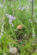 Edible mushroom in the grass. Stock Photos