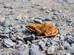 Common toad, rana temporaria, sitting on the rocky road Stock Photos