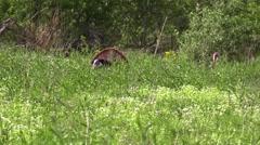 Strutting tom turkey nature animal Stock Footage
