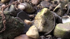 Spring peeper on river rock Stock Footage