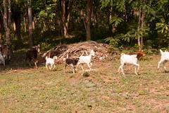 goat herd - stock photo