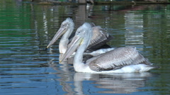 The pair of the European Pelicans (Pelecanus onocrotalus) Swim. Stock Footage