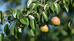 Two pears on a branch Stock Footage
