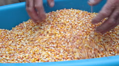 Farmer holding corn kernels in his hands, harvest, container, gathering Stock Footage