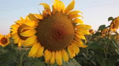 Beautiful sunrise, sunflower field, agriculture, morning blue sky, farm, wind - stock footage