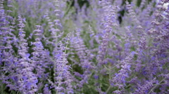 RUSSIAN SAGE & BEES SWAYING IN THE WIND.  Version 1 of 3 Stock Footage