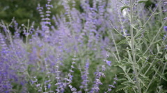 RUSSIAN SAGE & BEES SWAYING IN THE WIND.  Version 2 of 3 Stock Footage