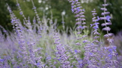 RUSSIAN SAGE & BEES SWAYING IN THE WIND.  Version 3 of 3 Stock Footage