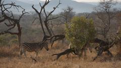 Two Zebra walking through the bush Stock Footage