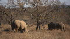 Two adult Rhinos walking and eating grass Stock Footage