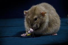 Decorative rats. - stock photo
