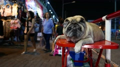 Pug dog lie on red table, night market street people passing blurred background Stock Footage