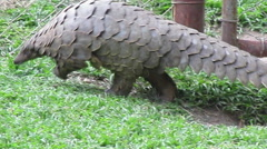 Pangolin walking along fence Stock Footage
