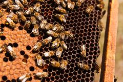 Busy bees, close up view of the working bees on honeycomb. - stock photo