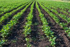 Rows of soy plants in a cultivated farmers field Stock Photos