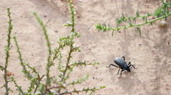GIANT BLACK BEETLE TAKES A WALK Stock Footage