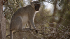 A Vervet Monkey sitting on a branch and eating and then leaving Stock Footage
