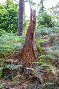 Rotten tree in forrest. - stock photo