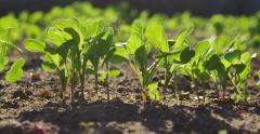 Fresh plant seedlings planted in spring soil. Panning slider dolly shot Stock Footage