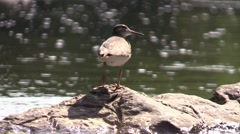 Stock Video Footage of solitary sandpiper looking for bugs around river rocks