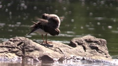 Solitary sandpiper looking for bugs around river rocks Stock Footage