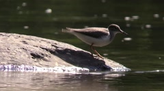 Solitary sandpiper catching bugs around river rocks nature Stock Footage