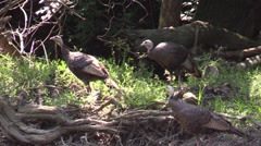 Turkey hens walking along rivers edge nature Stock Footage